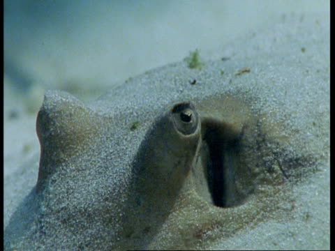 bcu head of stingray buried in sand, amazon - riverbed stock videos & royalty-free footage