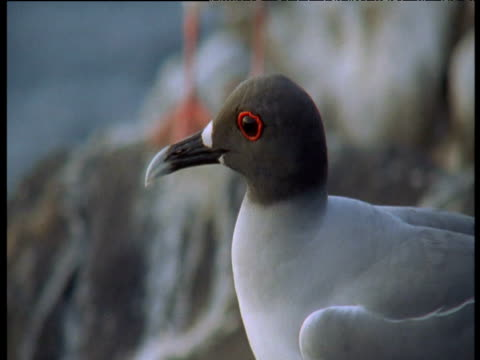 head of swallow tailed gull, galapagos - swallow tailed gull stock videos & royalty-free footage