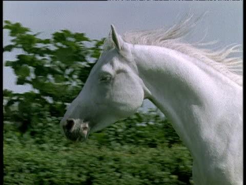 head of white stallion as it runs, uk - galoppera bildbanksvideor och videomaterial från bakom kulisserna