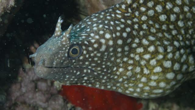 "head of whitespot moray, ascension island. - ""bbc natural history"" stock videos & royalty-free footage"