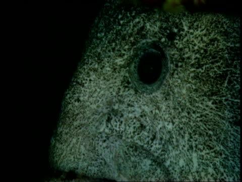 Head of Wolf eel.