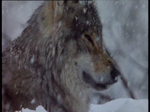 vídeos y material grabado en eventos de stock de head of wolf lies in snow scandinavia - postura