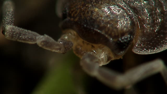 head of woodlouse (oniscidea), england - tierisches auge stock-videos und b-roll-filmmaterial