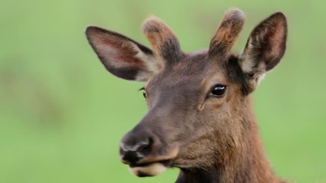 stockvideo's en b-roll-footage met cu head of young bull elk at sunset / estes park, colorado, united states - estes park