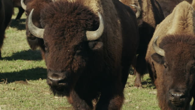 head on view, several large american bison or buffalo walk toward camera. - american bison stock videos & royalty-free footage