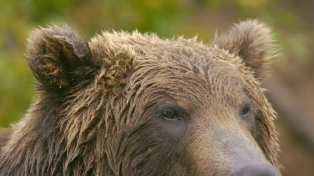head part of a brown bear, kamchatka russia - animal head stock videos & royalty-free footage