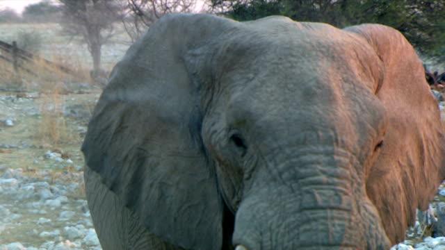 Head shot of an elephant/ Etosha National Park/ Namibia