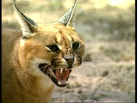 CU Head shot of Caracal (Caracal caracal), hissing, turns and hisses to camera, USA