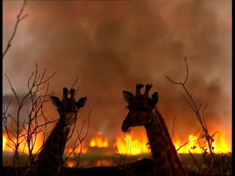 vídeos de stock e filmes b-roll de mcu head shot of two giraffe, standing together, fire raging in background - incêndio