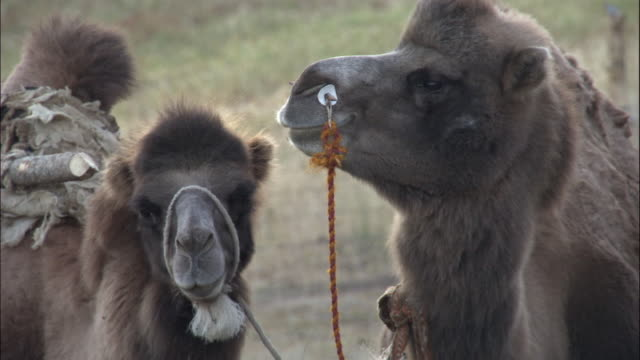 Heads of bactrian camels, Kalamaili Nature Reserve, Xinjiang, China