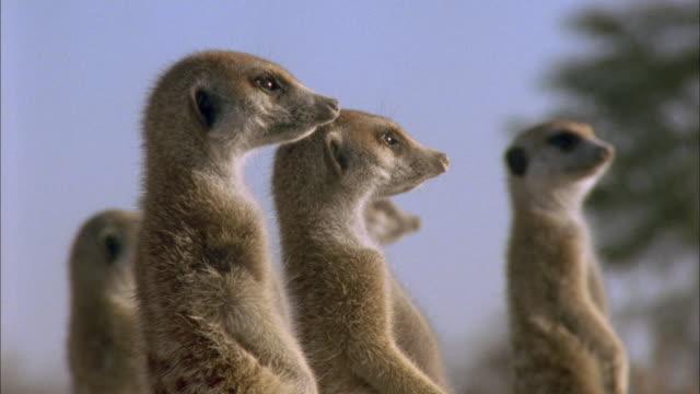 vídeos y material grabado en eventos de stock de heads of meerkats as they stand alert in kalahari desert available in hd. - desierto del kalahari