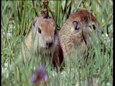 Heads of two baby Belding's Ground Squirrels next to grass, Montana