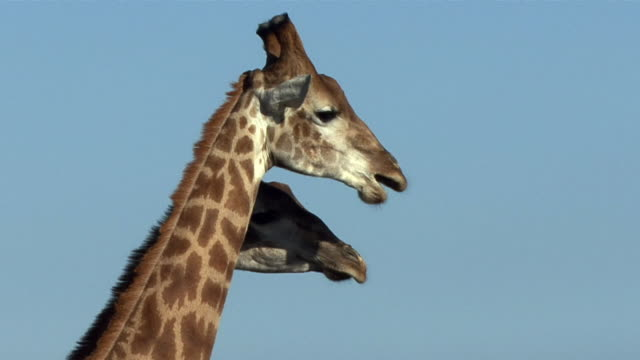 CU Heads two giraffes (Giraffa camelopardalis) chewing against blue sky / Eastern Cape, South Africa