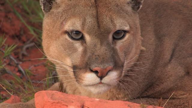vídeos y material grabado en eventos de stock de cu headshot of mountain lion (puma concolor). /utah, usa - puma