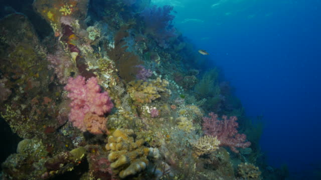 healthy coral reef grows on liberty shipwreck, indonesia (4k) - soft coral stock videos & royalty-free footage