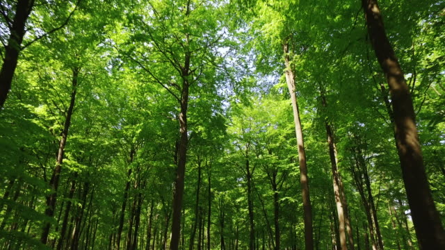 healthy forest - beech tree stock videos and b-roll footage