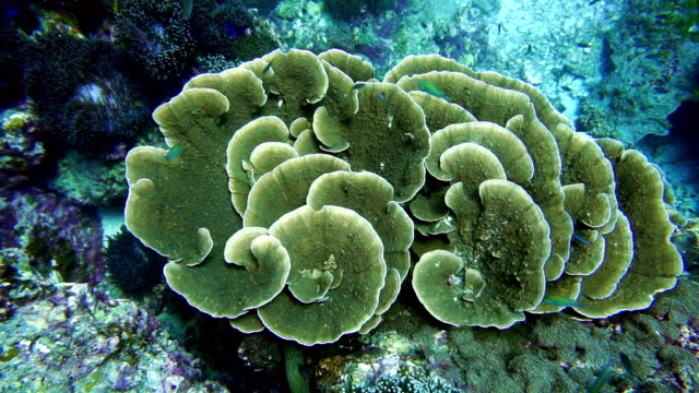 Healthy Leaf Coral and Coral Bleaching side by side, Phi Phi, Thailand