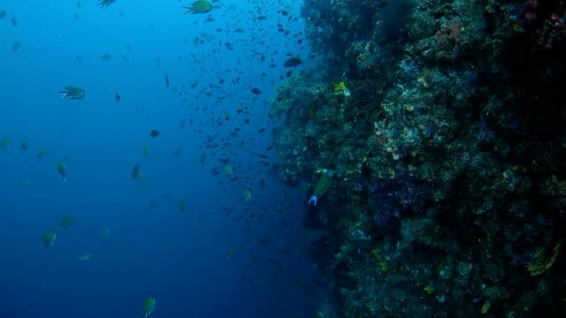 vídeos de stock e filmes b-roll de recife saudáveis com muitos peixes de coral - labro