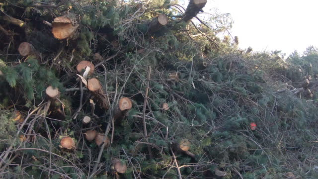 heap of cut down pine trees - pine tree stock videos & royalty-free footage