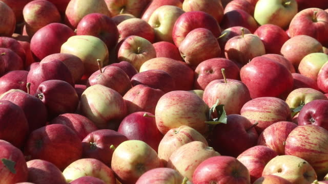 heap of freshly picked red ripe apples in an orchard in egerton, kent, uk on tuesday, september 15, 2020. - apple fruit stock videos & royalty-free footage