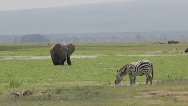 heard of african elephants graze in amboseli national park, sharing the plains with other wildlife such as zebra and hippopotamus. - mt kilimanjaro stock videos & royalty-free footage