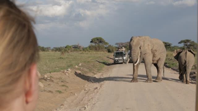 heard of african elephants walk through amboseli national park with mount kilimanjaro in tanzania seen in the distance. - mt kilimanjaro stock videos & royalty-free footage