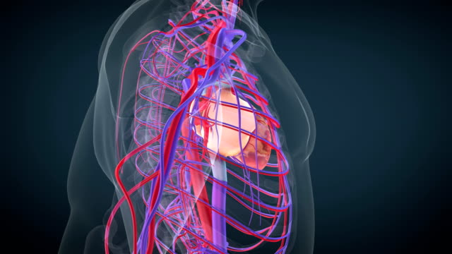 heart circulatory system - anatomy stock videos & royalty-free footage