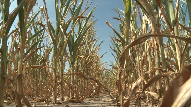 Heat and drought dry out farm fields in Illinois Drought hits the US midwest on July 23 2012 in Okawville IL