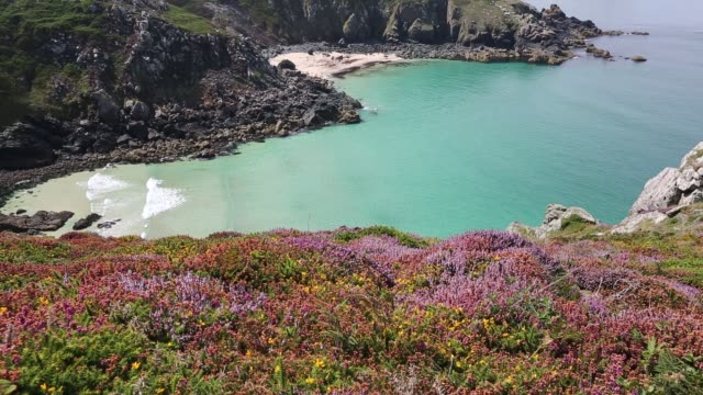 heather and gorse flowering on the cliff tops at zennor in cornwall, uk, looking down on pendour cove. - heather stock videos & royalty-free footage