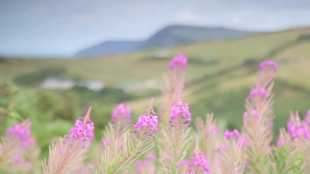 heather bush nature england - heather stock videos & royalty-free footage