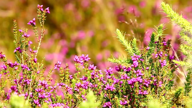 heather flowers frame - heather stock videos & royalty-free footage