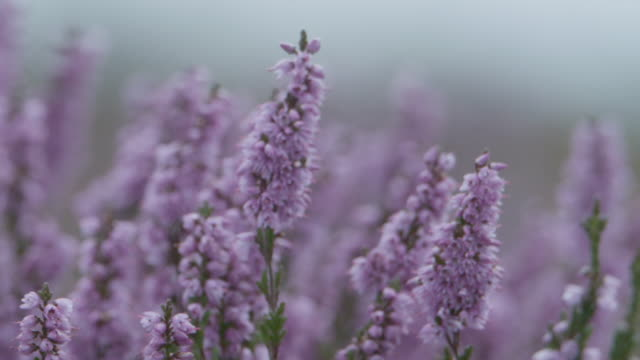 heather (calluna vulgaris), new forest - heather stock videos & royalty-free footage