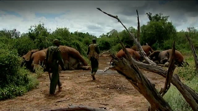 heathrow airport becomes hub for illegal ivory smuggling t09011302 / tx tsavo national park men along towards slaughtered elephants / legs of dead... - 象牙点の映像素材/bロール