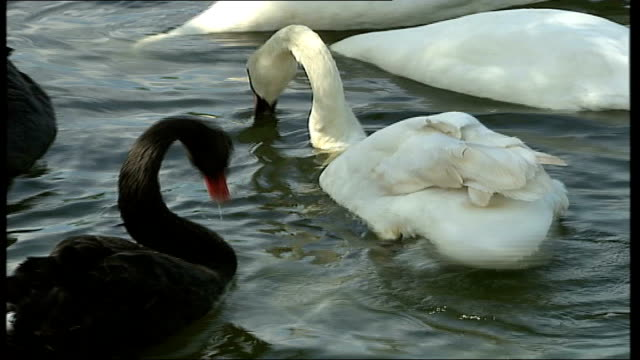 heatwave botulism killing adult birds; black swan and white swan tustling with one another tufted duckling along general view of birds on dirty water - clostridium botulinum stock videos & royalty-free footage