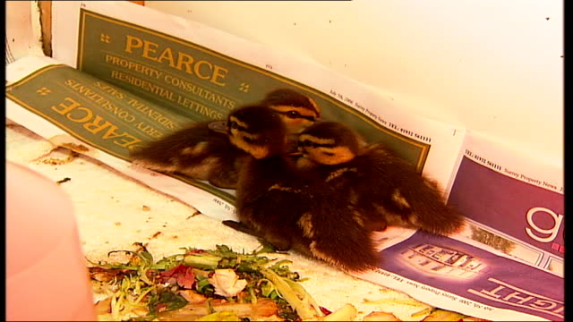 heatwave botulism killing adult birds; close shot of orphan ducklings nestled into newspaper to reporter to camera holding duckling - clostridium botulinum stock videos & royalty-free footage