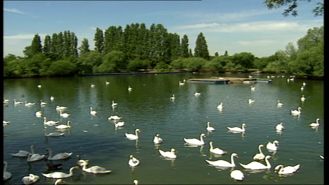 heatwave botulism killing adult birds; england: middlesex: shepperton: ext sequence adult and young birds on a pond - clostridium botulinum stock videos & royalty-free footage