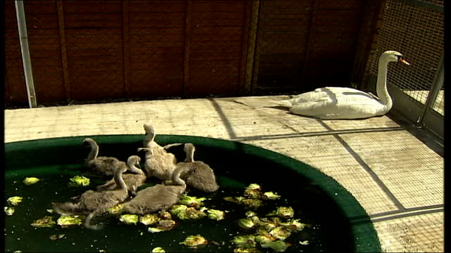 Heatwave botulism killing adult birds SEQUENCE Mother swan with her adopted cygnets