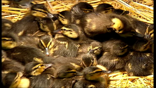 heatwave botulism killing adult birds; shepperton swan sanctuary: int close shot of orphaned ducklings pull out ducklings and adult ducks running... - clostridium botulinum stock videos & royalty-free footage