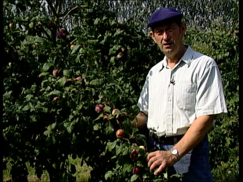 Record temperatures ITN Fruit farmer climbing ladder next to apple trees in orchard Knife cutting into rotten apple Ray Manning interview SOT fruit...