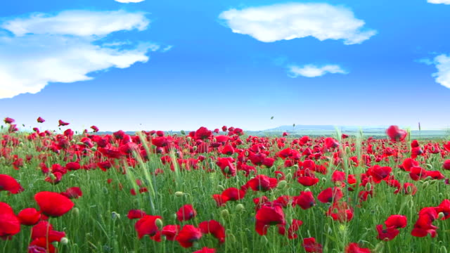 heaven poppys - poppy plant stock videos and b-roll footage