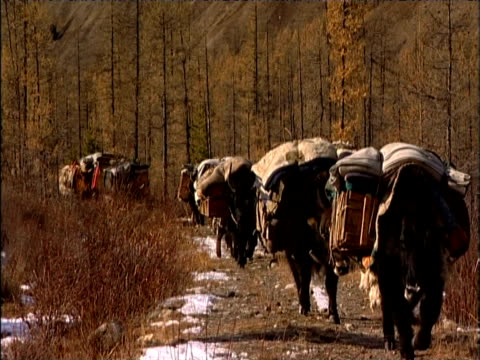 heavily laden yaks travel through barren landscape during darhad nomad winter migration darhad valley mongolia - 遊牧民族点の映像素材/bロール