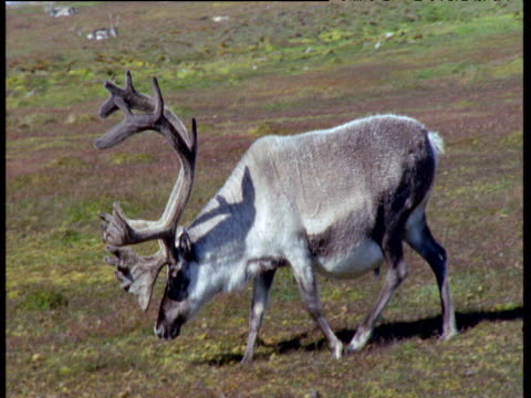 Heavily pregnant reindeer with huge antlers eats grass, Svalbard