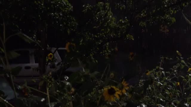 heavy rain falling on sunflowers at night - scott mcpartland stock videos & royalty-free footage
