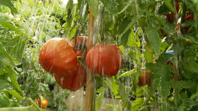 HD SLOW MOTION: Heavy Rain Falling On Tomatoes