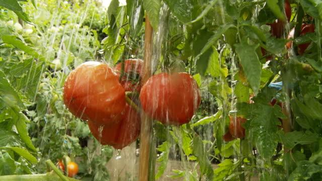 vídeos de stock e filmes b-roll de hd câmara lenta: tomates cair na chuva pesadaweather condition - ramo parte de uma planta