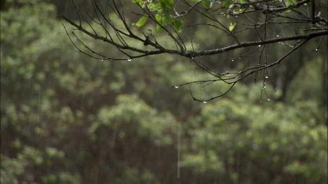 Heavy rain falls on a tree branch. Available in HD.