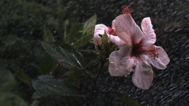 Heavy rain pelts pink hibiscus flowers in a powerful rainstorm. Available in HD.