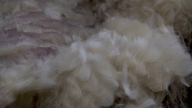 heavy shears cut the wool from a sheep. available in hd. - sheep stock videos & royalty-free footage