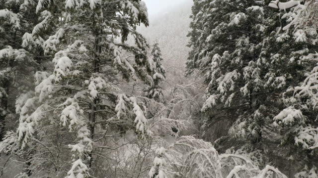 Heavy snow covering pine trees in snow storm