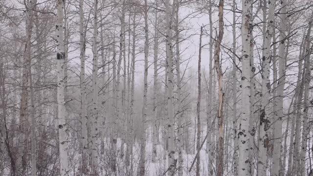 ワイオミング州の白樺の木の前に降る大雪 - カバノキ点の映像素材/bロール